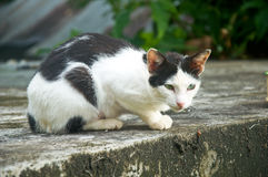 Black-an-white alley cat Stock Image