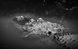 Black and white of an American alligator lurking in water Stock Images