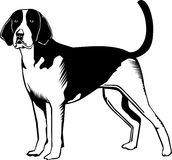 Black and white American Fox hound dog Royalty Free Stock Photo