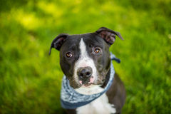 Black and white american pit bull terrier with blue bandanna. And shallow depth of field Stock Photos