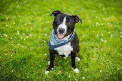 Black and white american pit bull terrier with blue bandanna. And shallow depth of field with white flowers in the grass sitting Stock Photos