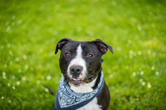 Black and white american pit bull terrier with blue bandanna. And shallow depth of field with white flowers in the grass sitting Royalty Free Stock Image
