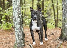 Black and white American Pit Bull Terrier dog erect ears royalty free stock image