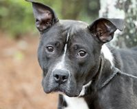 Black and white American Pit Bull Terrier dog erect ears stock photography