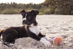 Black and White American Staffordshire Terrier Puppy Royalty Free Stock Photos