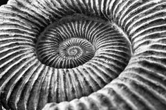 Black and white amonite fossil. Close up Black and white imaage of the whirls of an amonite fossil Stock Photo