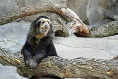 Black and White Andean Bear Royalty Free Stock Images