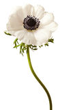 Black and White Anemone Isolated stock photos