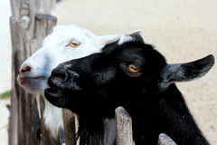 BLACK AND WHITE ANIMAL GOATS Stock Image