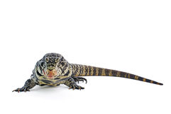 Black and White Argentine Tegu Royalty Free Stock Photography