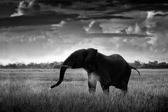 Black and white art photo. African safari. Elephant in the grass. Wildlife scene from nature, elephant in the habitat, Moremi, Oka. Vango delta, Botswana, Africa stock image