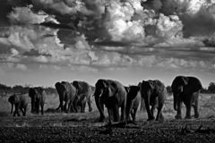 Black and white art photo. African safari. Herds elephant in the sand desert. Wildlife scene from nature, elephant in habitat,. Etocha NP, Namibia, Africa stock photography