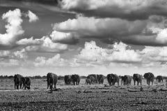 Black and white art photo. African safari. Herds elephant in the sand desert. Wildlife scene from nature, elephant in habitat,. Etocha NP, Namibia, Africa royalty free stock image