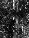Black and White Aspens Stock Photo