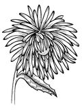 Black and white aster flower Royalty Free Stock Photos