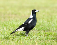 Black and White Australian Magpie Standing Upright on Green Gras Royalty Free Stock Photo