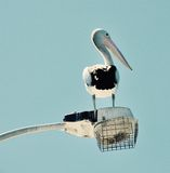 Black and White: Australian Pelican Royalty Free Stock Image