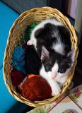 Kitten in a wicker basket. Black white baby cat is looking at the camera in a wicker basket Stock Photos