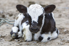 Black and white Baby Cow at the animal market of Otavalo. Spotted baby cow resting on the ground at the animal Andean market of Otavalo and looking at the camera Royalty Free Stock Photos