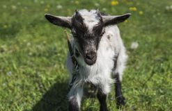 Black and white baby goat on a chain against grass and flowers on a background. White ridiculous kid is grazed on a farm. On a green grass. Animal. Agriculture Royalty Free Stock Image