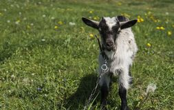 Black and white baby goat on a chain against grass and flowers on a background. White ridiculous kid is grazed on a farm. On a green grass. Animal. Agriculture Stock Image