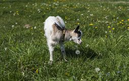 Black and white baby goat feeding on a chain against grass and flowers on a background. White ridiculous kid is grazed. On a farm, on a green grass. Animal Stock Image