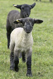 Lamb Young Baby White Black Stock Image