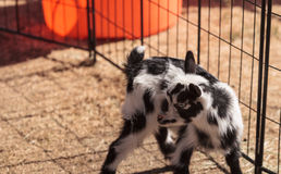 Black and white baby Nigerian dwarf goat. With bright blue eyes at a small farm royalty free stock images