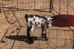 Black and white baby Nigerian dwarf goat. With bright blue eyes at a small farm royalty free stock photos