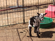 Black and white baby Nigerian dwarf goat Stock Image