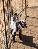 Black and white baby Nigerian dwarf goat Royalty Free Stock Photography
