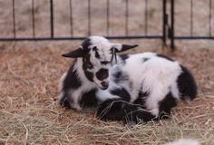 Black and white baby Nigerian dwarf goat Royalty Free Stock Images
