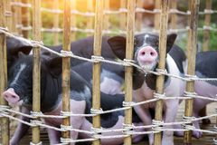 Black and white baby pig. In wood cages and rope waiting feeding in farm stock photos