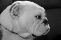 Black and White Baldrick. Black and white photo of an English Bulldog Royalty Free Stock Photos