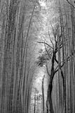 Black and white bamboo groves, Japan. Stock Image