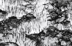 Black and white bark of old birch as a background. Stock Photos