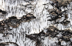 Black and white bark of old birch as a background. Royalty Free Stock Photos