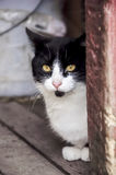 Black and white barn cat royalty free stock photo
