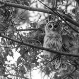 Black and White Barred Owl Stock Photo