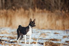 Black and white basenji dog. On a walk in winter Royalty Free Stock Image