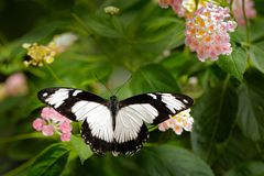 Black and white beautiful butterfly from India Blue Mormon, Papilio polymnestor, sitting on the green leaves. Insect in dark. Tropical forest in nature habitat stock photos