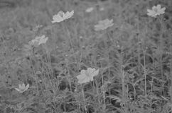 Black and White. Beautiful and cute flowers in garden royalty free stock images