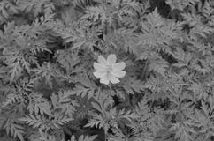 Black and White. Beautiful and cute flowers in garden royalty free stock image
