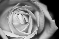 Black and white, beautiful, delicate rose stock photography
