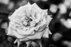 Black and white, beautiful, delicate rose royalty free stock images