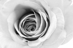 Black and white, beautiful, delicate rose petals. With details royalty free stock image