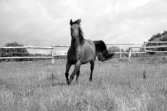 Black and white of a beautiful running quarter horse on the paddock stock photos