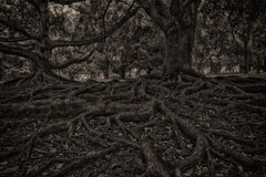 Black and white beech tree and root system Stock Image