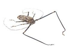 Black and white beetle Acrocinus longimanus Stock Images