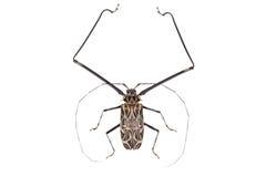 Black and white beetle Acrocinus longimanus Stock Photos